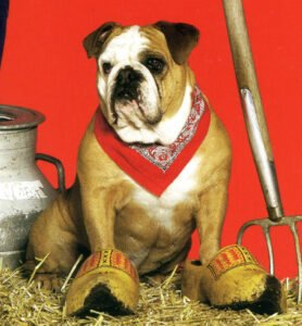 Bulldog in Klompen